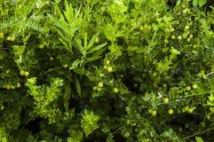 Groselhas do verde do jardim de Bush Imagens de Stock Royalty Free