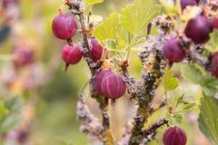 Groselhas frescas em um ramo do arbusto de groselha foto de stock royalty free