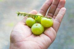 Groselhas indianas na mão Imagem de Stock
