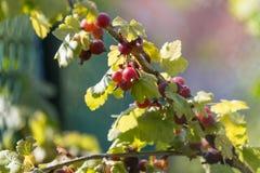 Groselhas maduras no jardim foto de stock royalty free