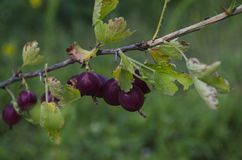 Groselhas ou agrus, ramo com bagas Agrus roxo, grupo de groselhas maduras doces das bagas, agrus no jardim Fotos de Stock
