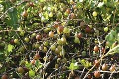 Groselhas verdes frescas em um ramo do arbusto de groselha com luz solar groselha no jardim do fruto imagem de stock royalty free