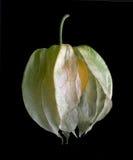 Grosella espinosa de cabo Imagen de archivo