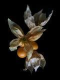 Grosella espinosa de cabo Fotografía de archivo