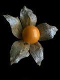 Grosella espinosa de cabo Fotos de archivo