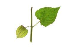 Grosella espinosa de cabo (peruviana del Physalis) Imagenes de archivo