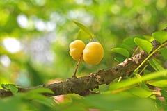 Grosella espinosa de la estrella del primer en la rama de la fruta hermosa del árbol Fotografía de archivo