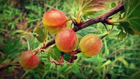 Grosella espinosa en la rama en el jardín fotos de archivo libres de regalías