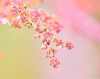 Grosella espinosa floreciente foto de archivo libre de regalías
