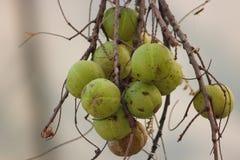Grosella espinosa india Fotografía de archivo