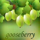 Grosella espinosa verde, jugosa, dulce en una rama para su diseño Vector Imagenes de archivo