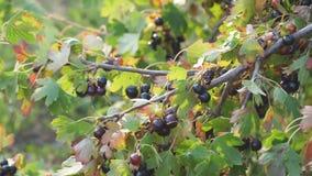 Grosella negra en el jardín en una rama de Bush almacen de video