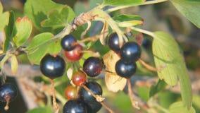 Grosella negra en el jardín en una rama de un primer de Bush metrajes