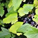Grosella negra en una ramificación en el jardín Imagen de archivo libre de regalías