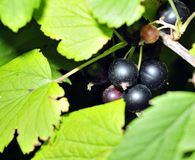 Grosella negra en una ramificación en el jardín Fotografía de archivo libre de regalías