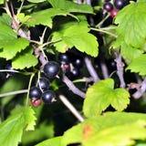 Grosella negra en una ramificación en el jardín Foto de archivo