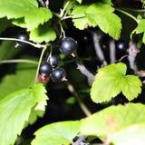 Grosella negra en una ramificación en el jardín Imagenes de archivo