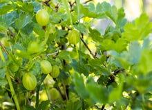 Grosellas espinosas del verano Foto de archivo