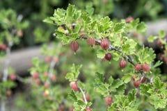 Grosellas espinosas frescas en la rama del arbusto de grosella espinosa en el crecimiento orgánico del jardín de la fruta Imagenes de archivo