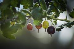 Grosellas espinosas frescas en una rama del arbusto de grosella espinosa con luz del sol Fotografía de archivo