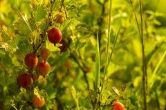 Grosellas espinosas frescas en una rama del arbusto de grosella espinosa con luz del sol foto de archivo