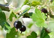 Grosellas espinosas negras en el arbusto imagen de archivo libre de regalías