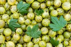 Grosellas espinosas orgánicas verdes maduras de las bayas Grosella espinosa fresca Backgr Fotografía de archivo