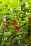 Grosellas espinosas rojas en el jardín imagen de archivo