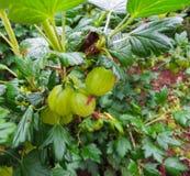 Grosellas espinosas verdes frescas Grosella espinosa madura en el jardín de la fruta foto de archivo libre de regalías