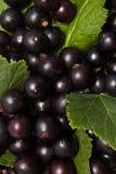 Grosellas negras con las hojas Fotografía de archivo libre de regalías