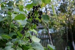 Grosellas negras en un primer de la rama en el jardín imágenes de archivo libres de regalías