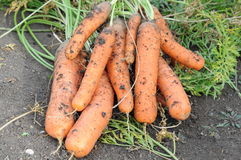 Gross carrot on ground Stock Photography