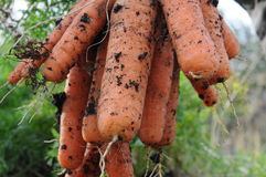 Gross carrot Royalty Free Stock Photo