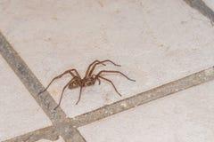 Grosse araign?e ?norme dans une cave, Allemagne photo libre de droits