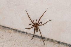 Grosse araign?e ?norme dans une cave, Allemagne images stock