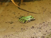 Grosse grenouille 2 Photographie stock