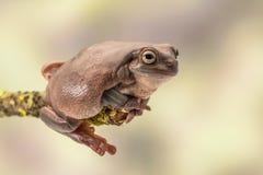 Grosse grenouille d'arbre australienne, Litoria Caerulea, se reposant sur une branche simple Photo libre de droits
