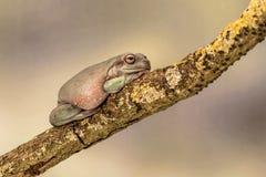 Grosse grenouille d'arbre australienne, Litoria Caerulea, se reposant sur une branche simple Images libres de droits