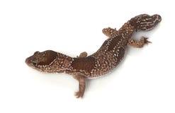 grosse jungle africaine de gecko suivie images stock