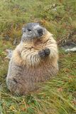 Grosse marmotte Photos libres de droits