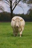 Grosse vache blanche Photographie stock libre de droits