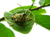 Grosshopper bonito Imagem de Stock