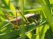 Grosshopper Stock Image