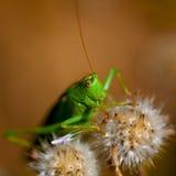 Grosshopper verde Fotografia Stock
