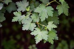 Grossularia-divaricata Blätter lizenzfreie stockfotografie