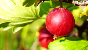 Grossularia uva-crispa stock video