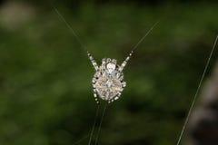 Grossus Araneus Στοκ φωτογραφία με δικαίωμα ελεύθερης χρήσης