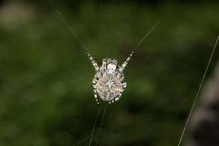 Grossus d'Araneus Photo libre de droits