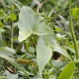 Grot (Sagittaria sagittifolia) obraz stock