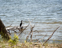 Grote aalscholver - de het duiken zeevogel Royalty-vrije Stock Afbeeldingen